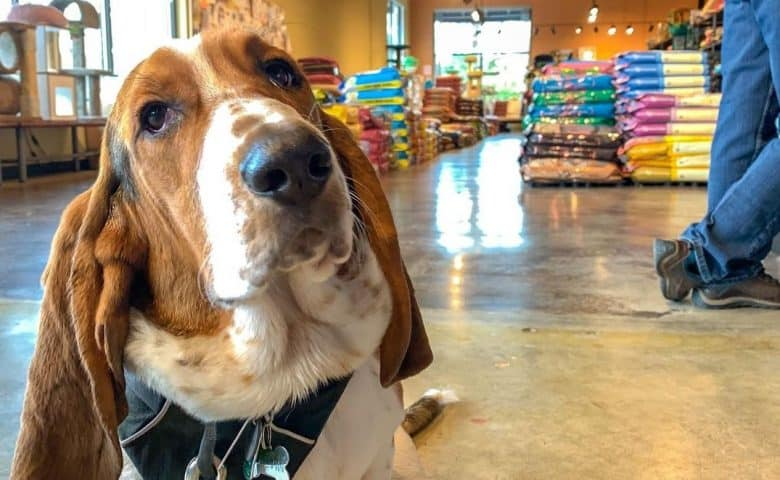 a Basset Hound patiently waiting in a dog food shop