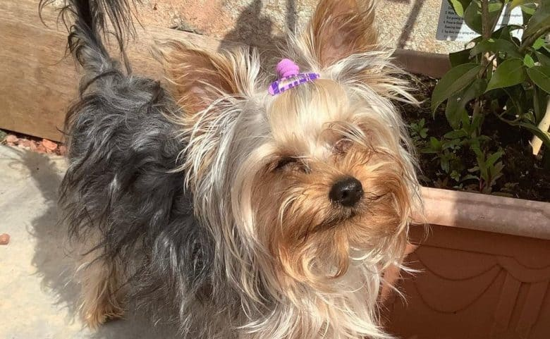 a happy Yorkshire Terrier with cute purple tie and clip