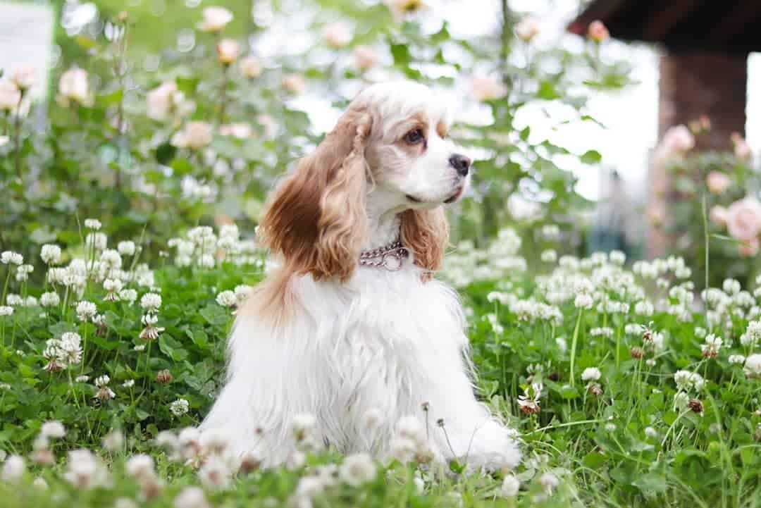a Cocker Spaniel enjoying the park filled with white flowers