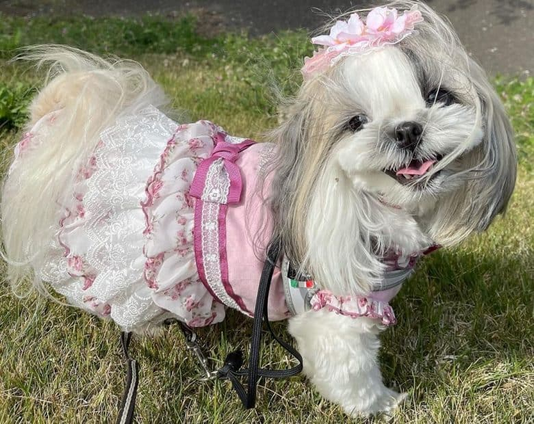 a beautiful Shih Tzu wearing a pink outfit and clip outside