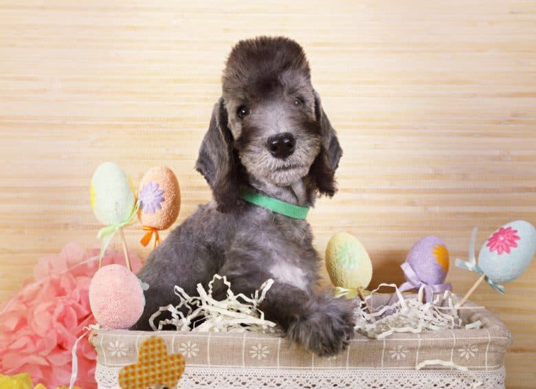 a Bedlington Terrier puppy with decorative eggs