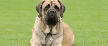 an adult English Mastiff laying on the grass