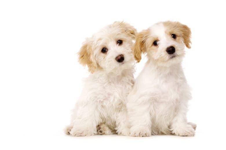 two fluffy Bichon Frise dogs sitting