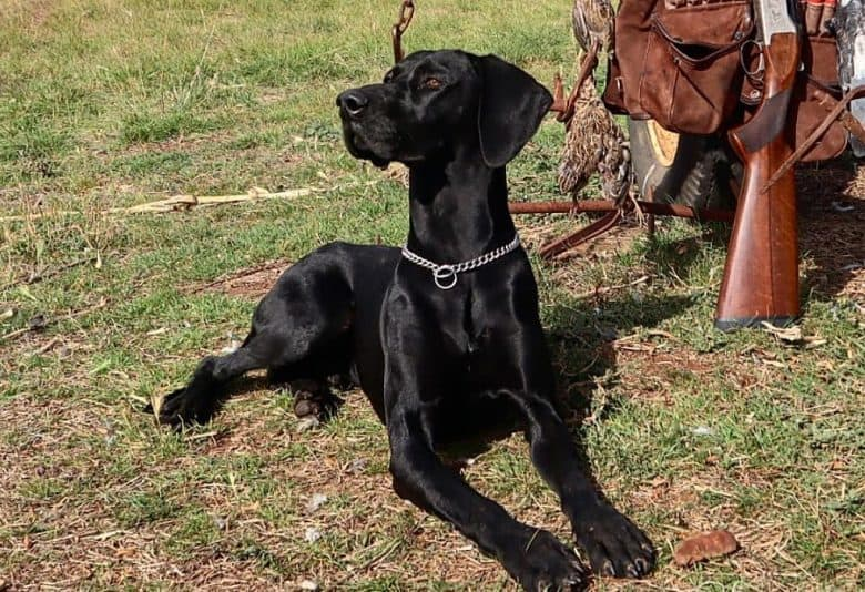 a German Shorthaired Pointer on a hunt
