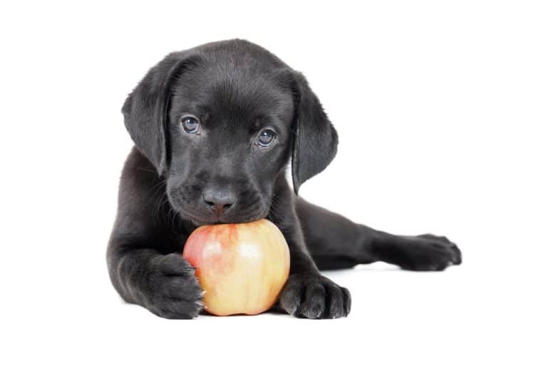 a Labrador puppy holding an apple