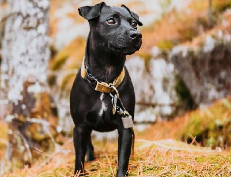 a Patterdale Terrier puppy on a hike