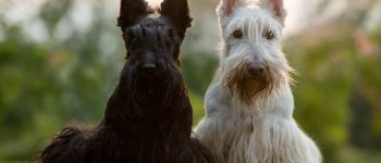 a black & a white Scottish Terrier laying on the grass