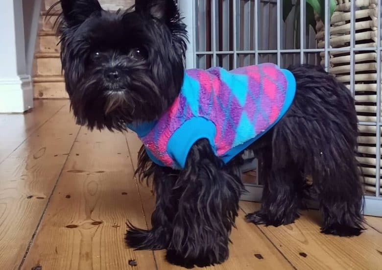 a black Yorkshire Terrier wearing a colorful sweater