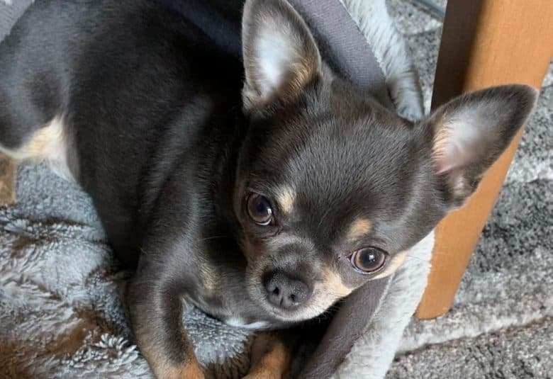 a Blue Chihuahua puppy on a small dog bed