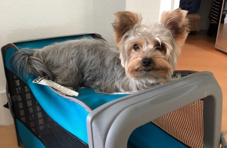 A Blue and Gold Yorkie laying on top of a crate