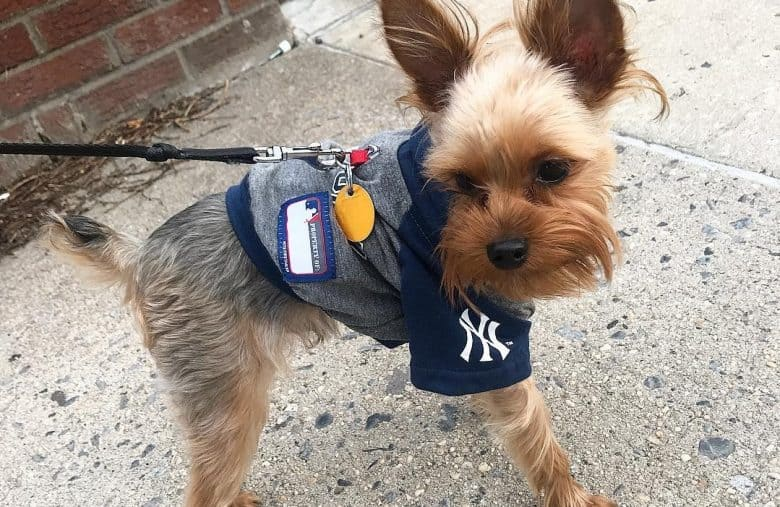 a fashionable Blue and Tan Yorkie puppy