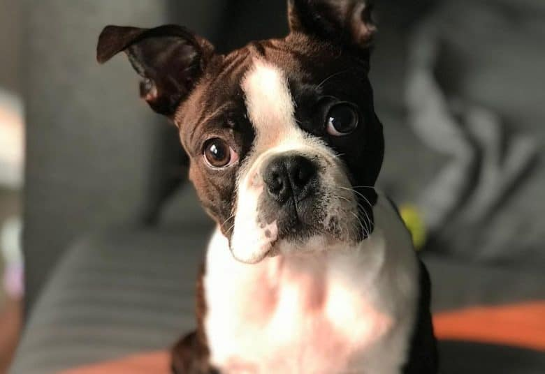 a Boston Terrier sitting with ears up