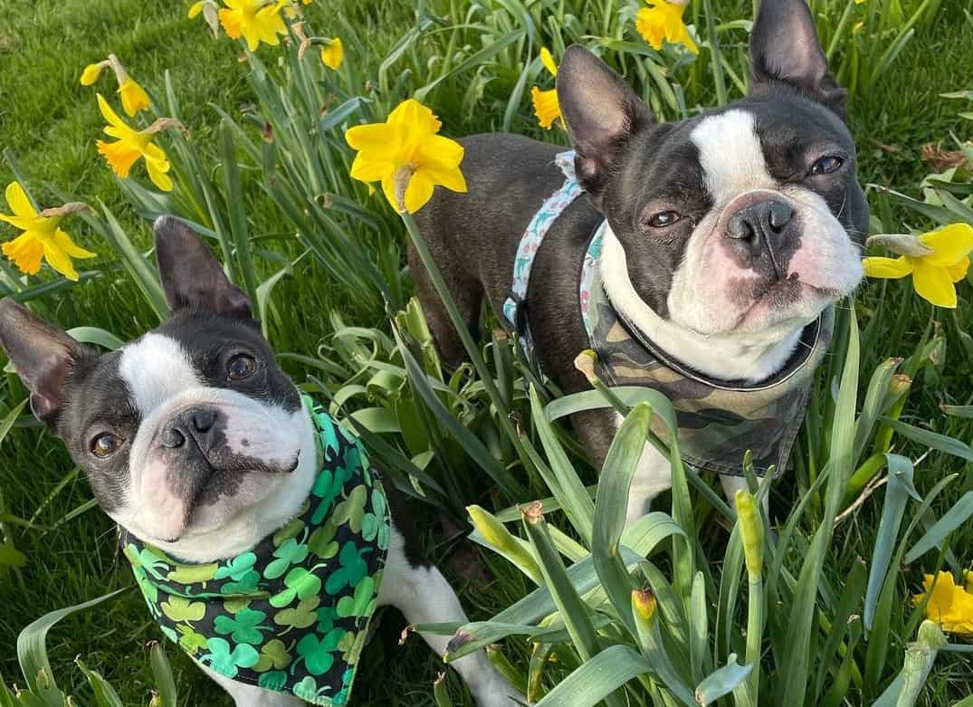 Boston Terriers in the middle of a garden with yellow flowers