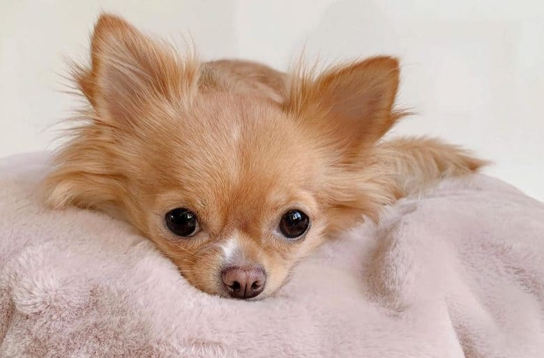 a Chihuahua resting on a pink pillow