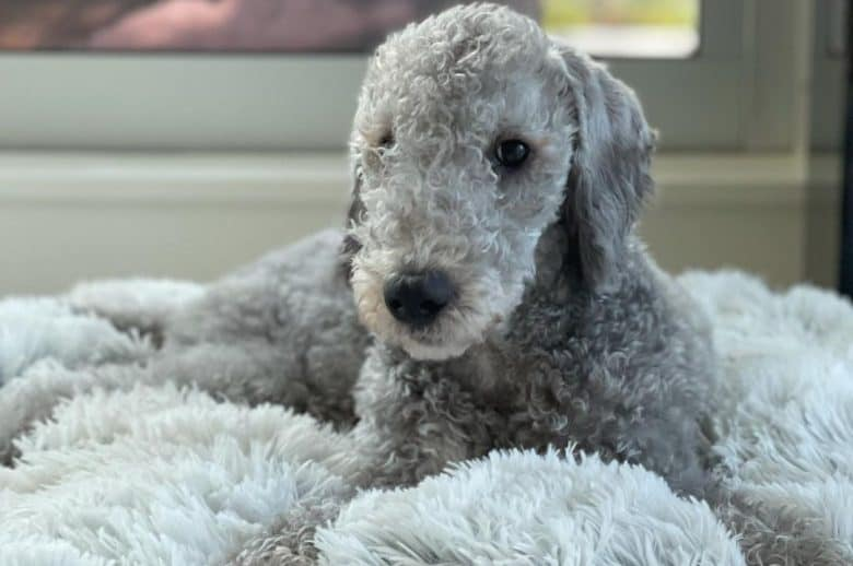 a Bedlington Terrier laying comfortably