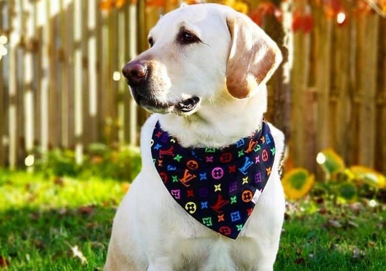 a Labrador Retriever wearing a scarf
