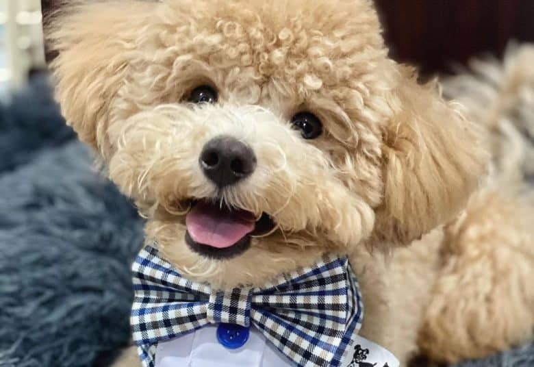 Toy Poodle tilting its head and wearing a plaid bow tie