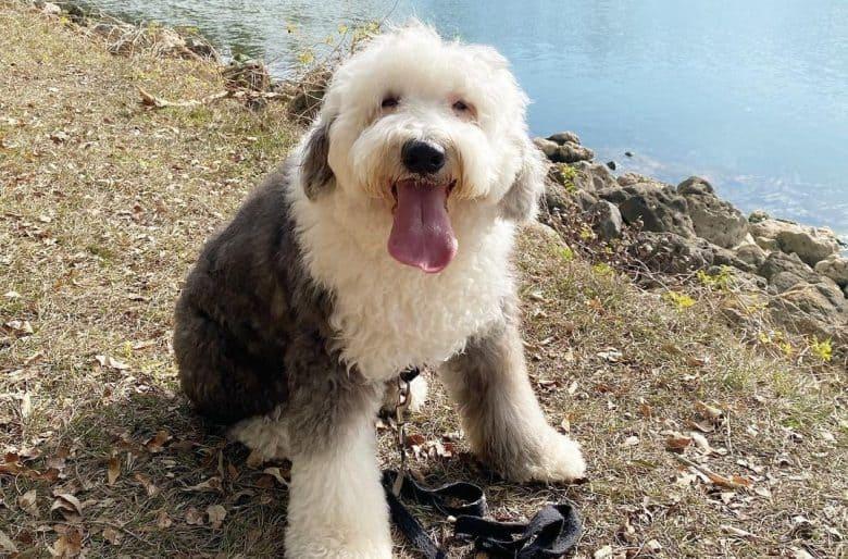 a fluffy Old English Sheepdog sitting on a riverbank