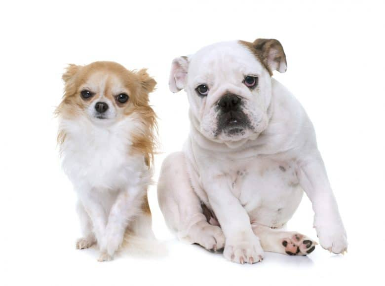 a Chihuahua and English Bulldog sitting side by side