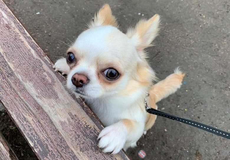 a Chihuahua puppy looking curiously while standing