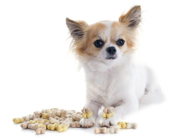 a Chihuahua sitting with dog food