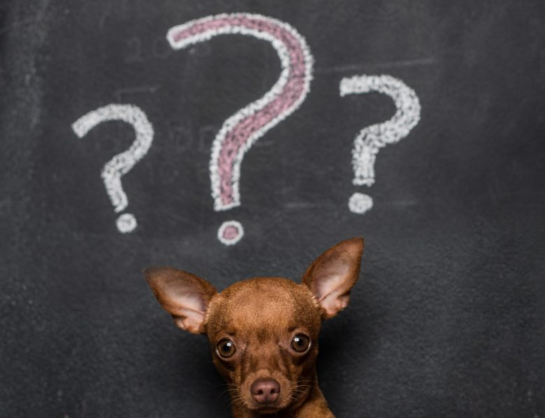 a Chihuahua with a blackboard with question marks background