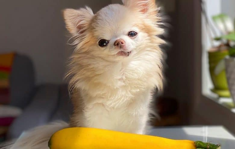A Chihuahua sitting tilting its head with a zucchini in front
