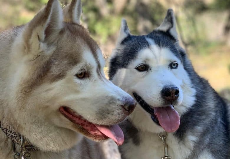 Two Siberian Husky smiling and playing with each other