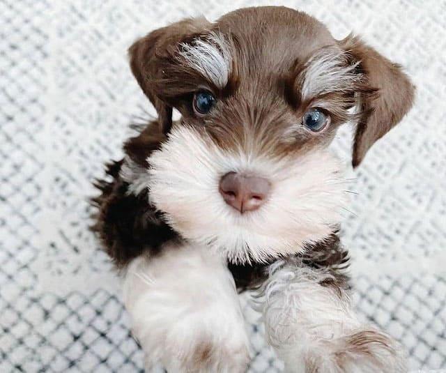Close-up portrait of Miniature Schnauzer dog