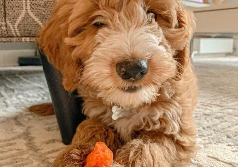 a Cockapoo munching on a carrot