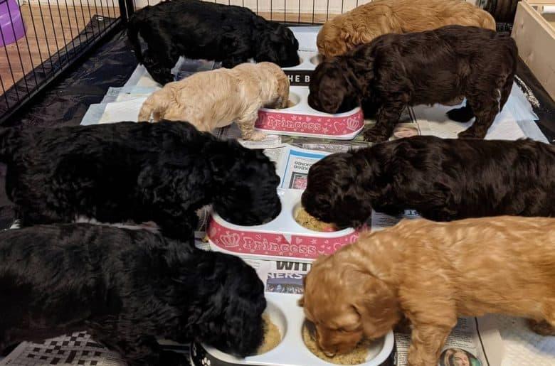 Cockapoo puppies eating dog food on bowls