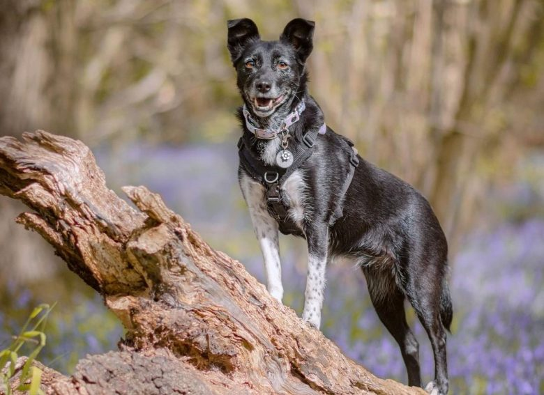 a Collie standing in a tree trunk