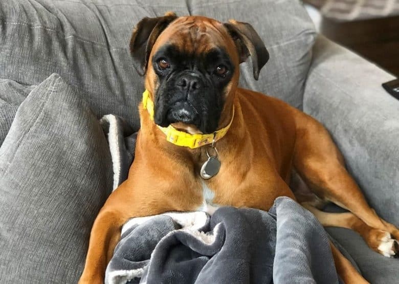 a serious Boxer relaxing on a couch with blanket