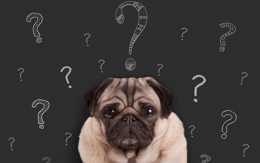 Confused Pug dog portrait
