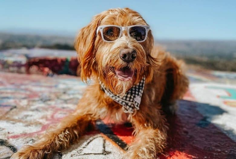a Labradoodle wearing sunglasses and laying under the sun