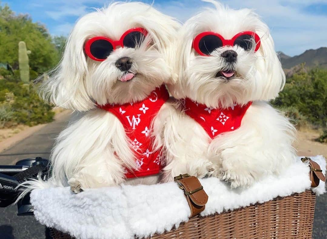 Maltese wearing sunglasses and red harness while sitting inside a bike basket