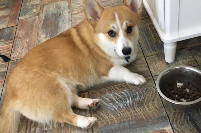 a Corgi laying on the floor with a dog bowl near