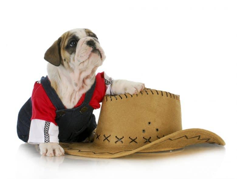 A dressed English Bulldog puppy