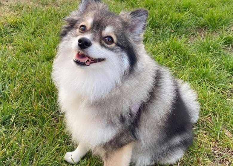 a fluffy Pomsky smiling while sitting on the grass