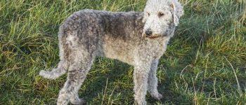 a Bedlington Terrier standing outdoors