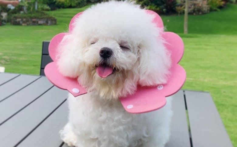 a Mini Bichon Frise wearing a pink flower collar