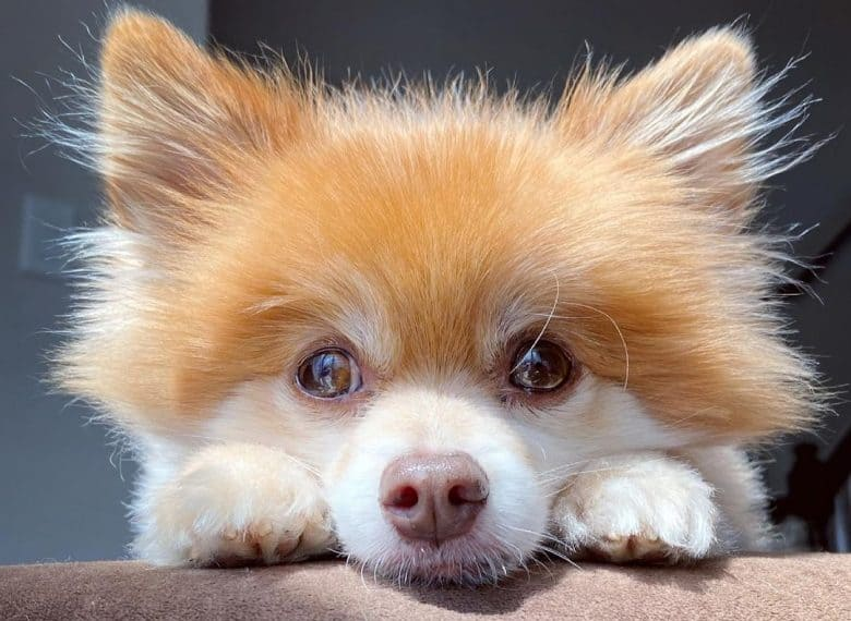a fluffy Pomeranian puppy looking