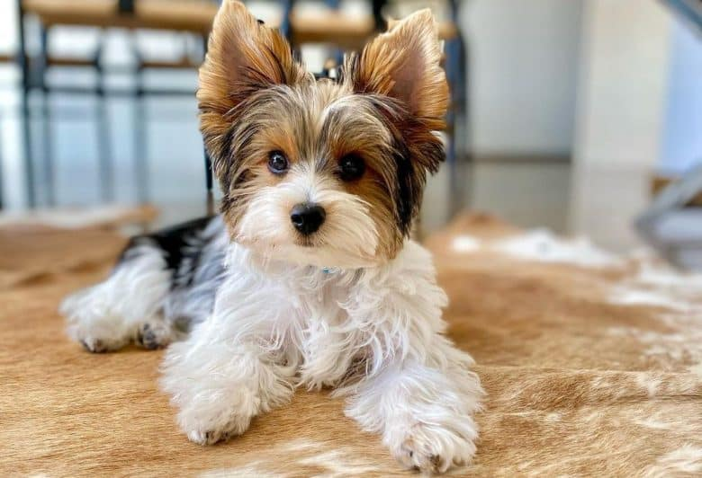 an adorable Parti Yorkie laying on soft fur
