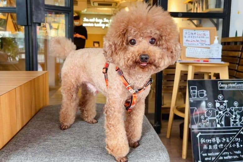 a groomed Poodle standing on a cushion