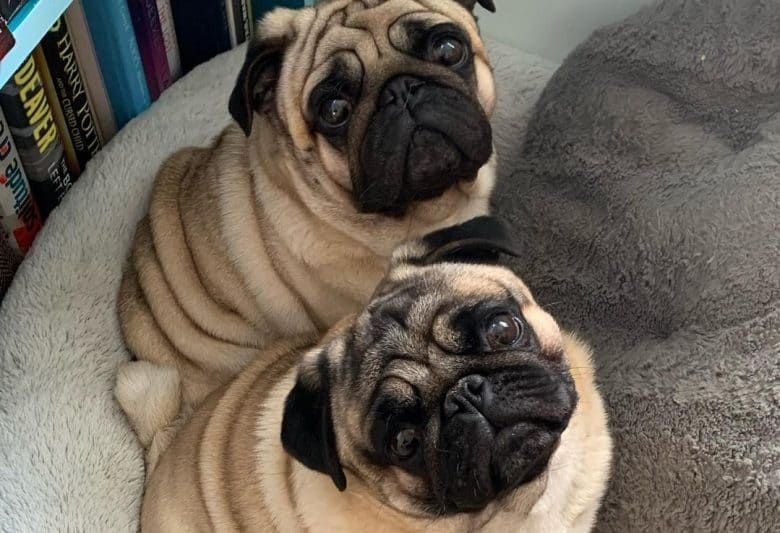 Pug puppies adorably looking up while sitting on a soft dog bed