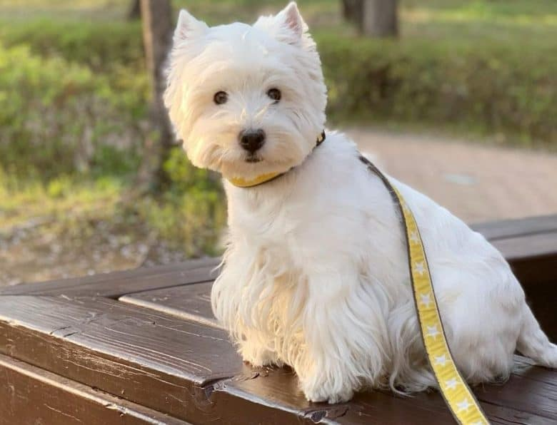 a West Highland White Terrier sitting on a wooden chair