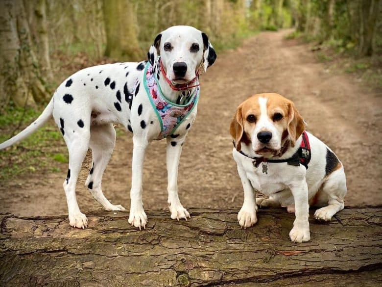 a Dalmatian puppy and Beagle puppy on a dried log