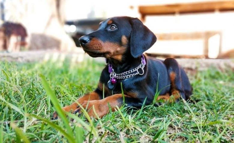 a behave Doberman puppy wearing a dog chain