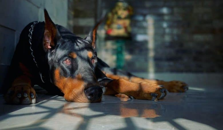 a Doberman laying on the floor