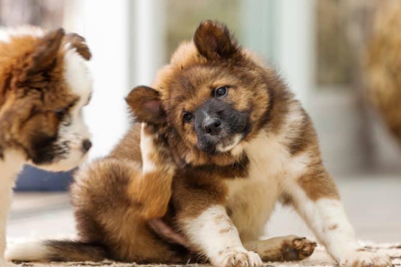 an Elo puppy scratching behind ears